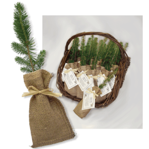 Remembrance Tree seedlings in Burlap