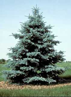 Blue Spruce Sympathy Tree grown in some areas